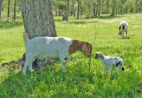 Boer goat and St. Croix lamb
