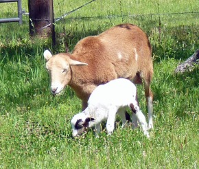 Romy & lamb in pasture