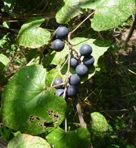 Mustang grapes