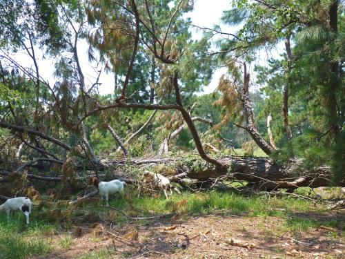 wind-blown pine