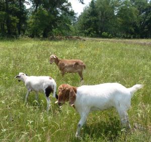 sheep and goat walk