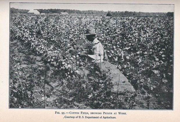 cotton picking, 1915