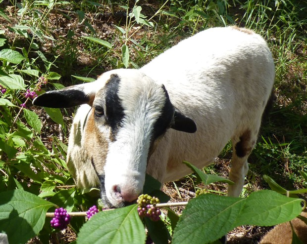 lamb and beautyberry plant