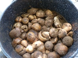 mushrooms in dye pot