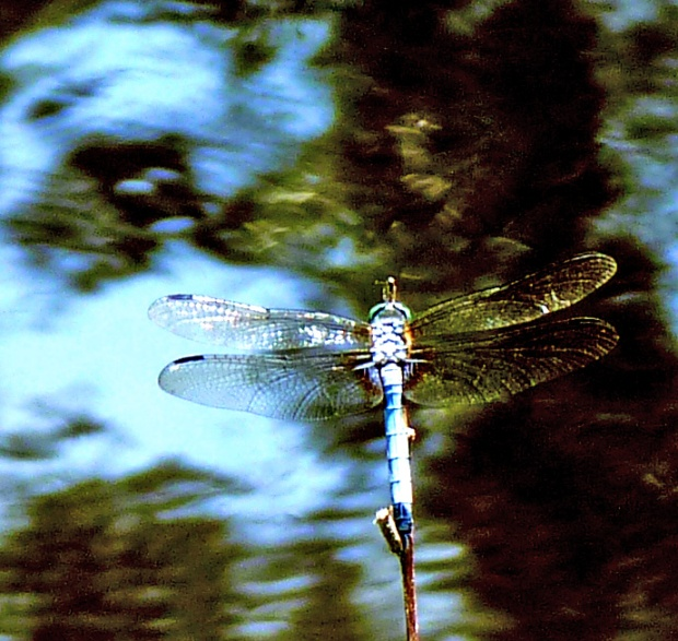 dragonfly resting above water