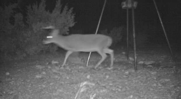 buck near feeder