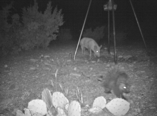 feral hog and porcupine