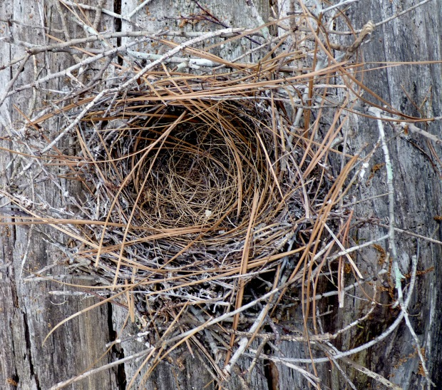 mockingbird nest
