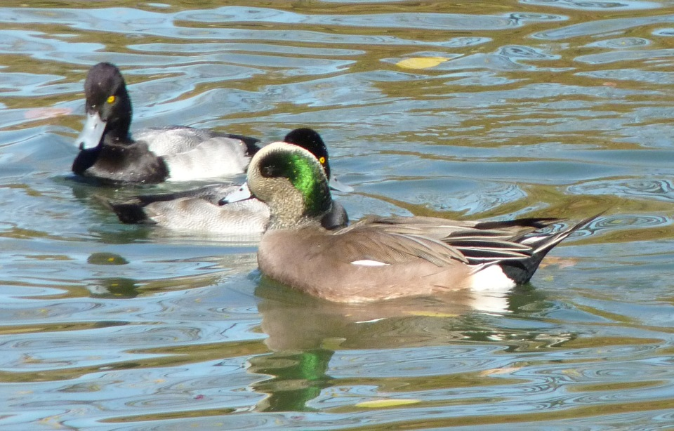 wigeon and scaup