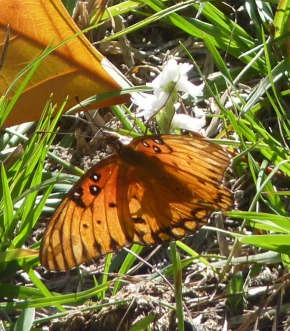 gulf fritillary and ladies' tresses