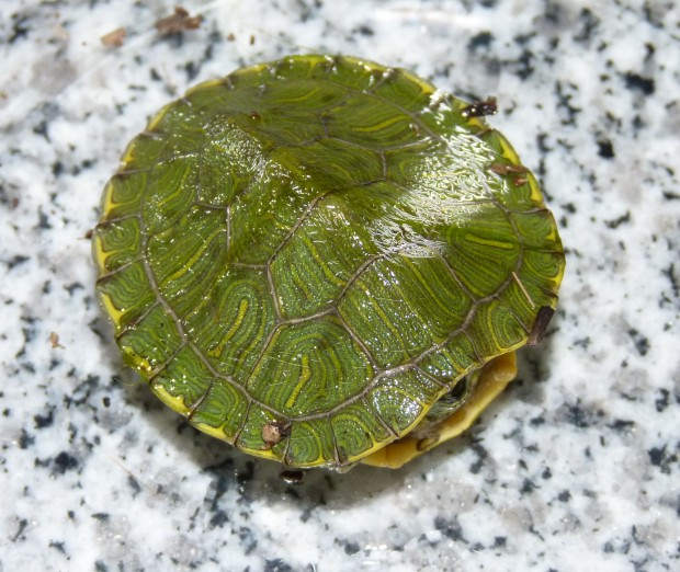 tiny red-eared slider