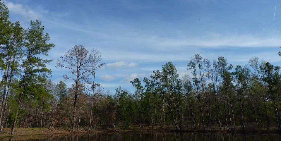 pines around the pond