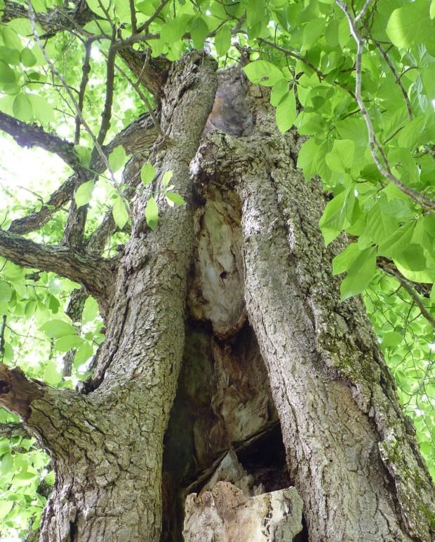 tupelo tree