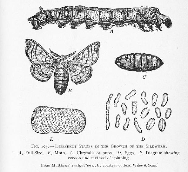 silk moth life cycle