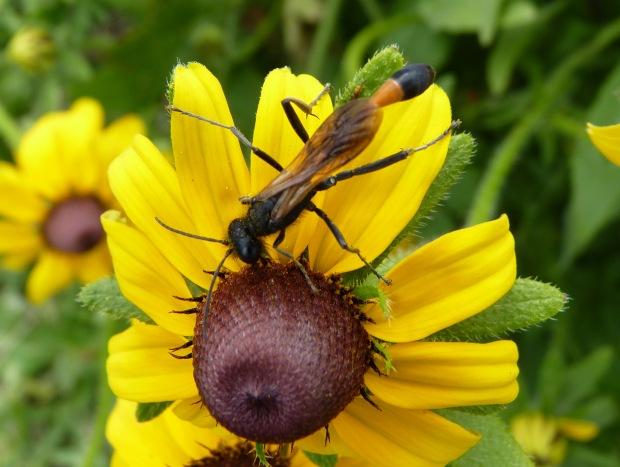 rudbeckia and wasp