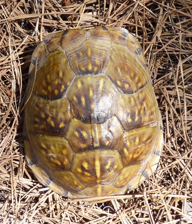 Gulf Coast box turtle