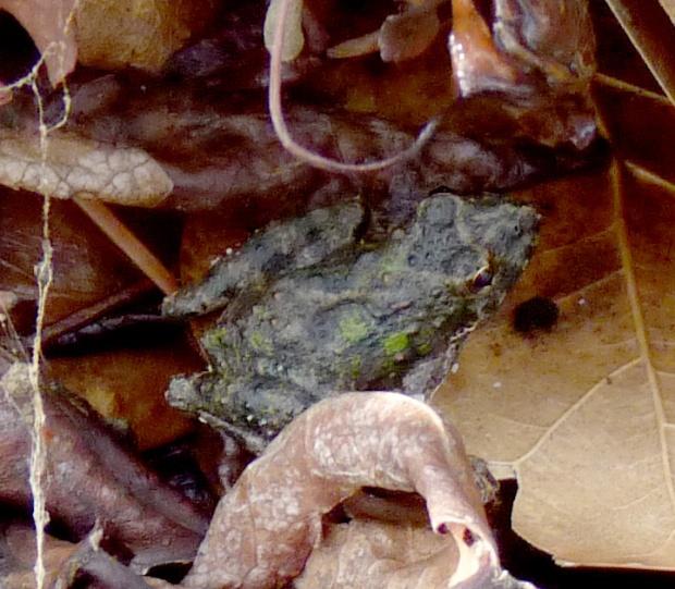 Northern cricket frog