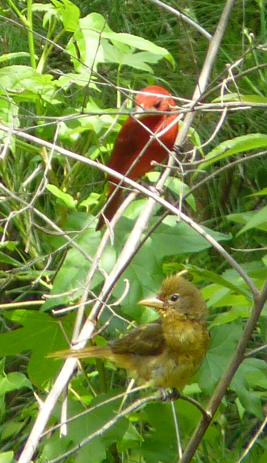 summer tanagers