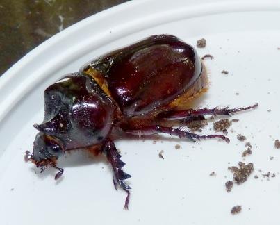 ox beetle