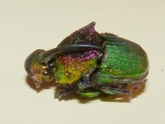 rainbow scarab