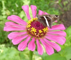 white-striped longtail butterfly