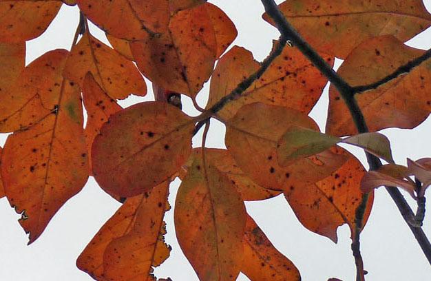 tupleo leaves in fall