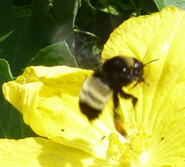 bumblebee in flight