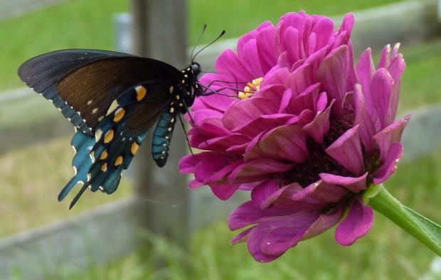 pipe-vine swallowtail
