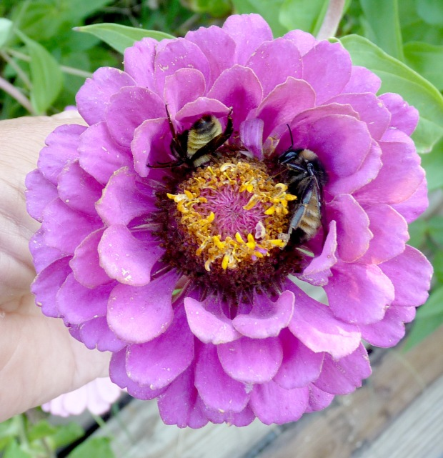 bees in zinnia