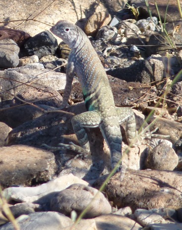 greater earless lizard