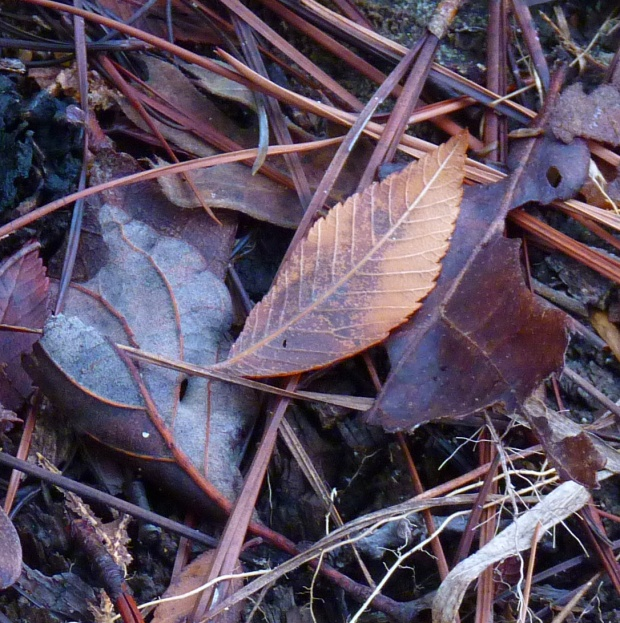 leaves and pine needles