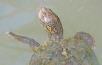 turtle in Rio Grande