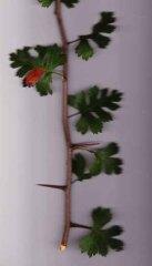 parsley haw