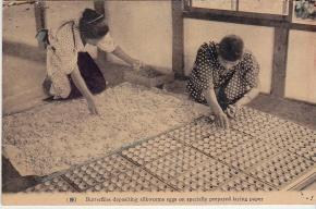 tending silkmoths postcard