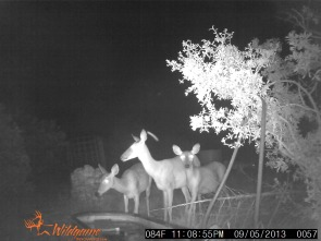 whitetail doe and fawns