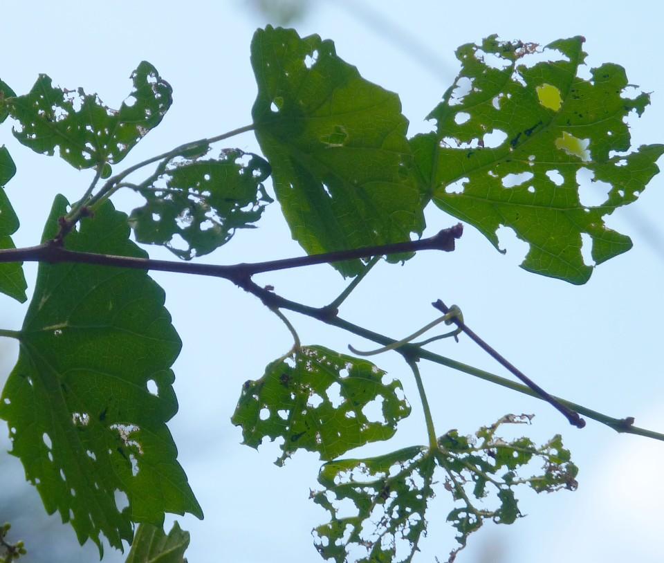 skeletonized leaves