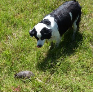border collie and armadillo