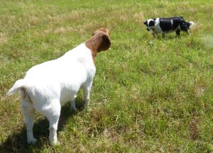 goat and border collie