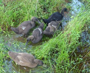 ducks at pond's edge