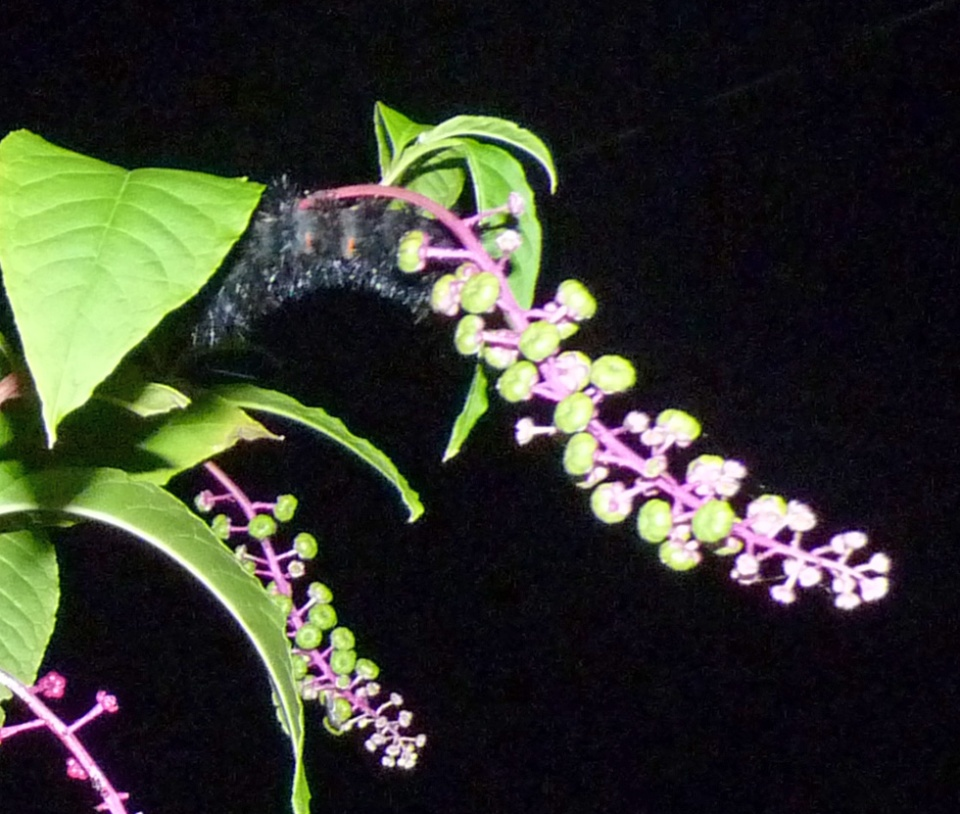 caterpillar and pokeweed