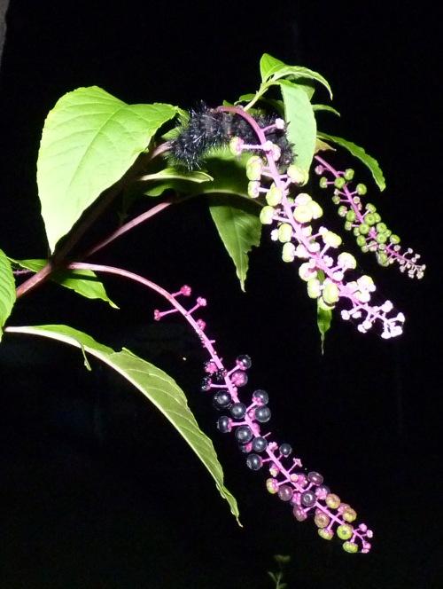 caterpillar on pokeweed