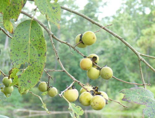 Common persimmon, Diospyros virginiana