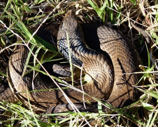 Eastern hognose snake.