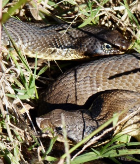We saw these two Eastern hognose snakes in a corner of the garden, several days in a row.