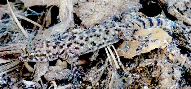 This is a Mediterranean house gecko. They were first recorded in Florida in 1915, and have spread.