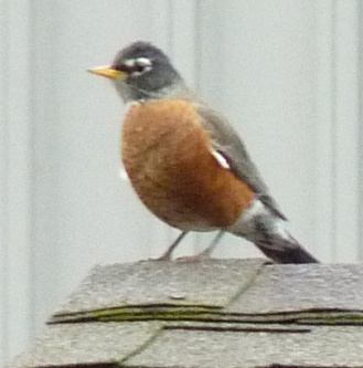 We only see robins during fall and spring migration.