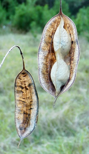 Rattlebox seed pods.