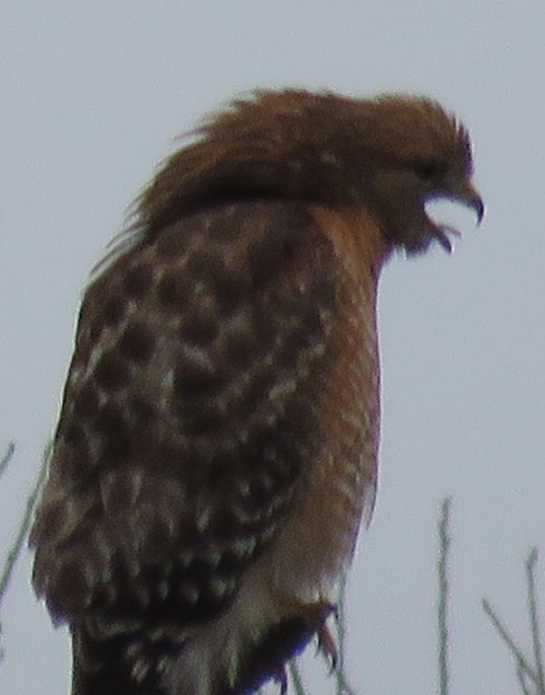 A red-shouldered hawk can also look a little less than imposing...