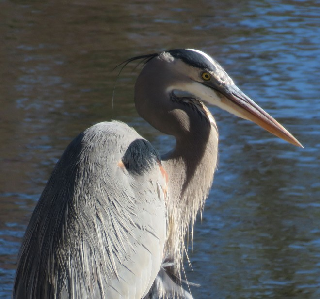 A great blue heron can look so magnificent one minute...