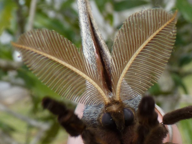...with feathery antennae.